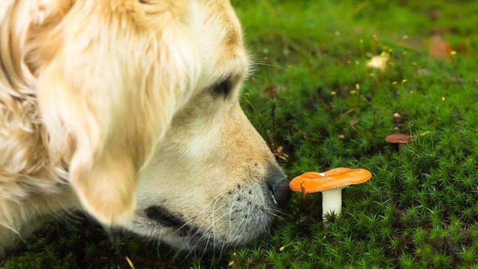 A Golden retriever is smelling at a mushroom that stands nicely in the moss.