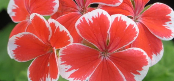 Pelargonhuset, Mr Wren