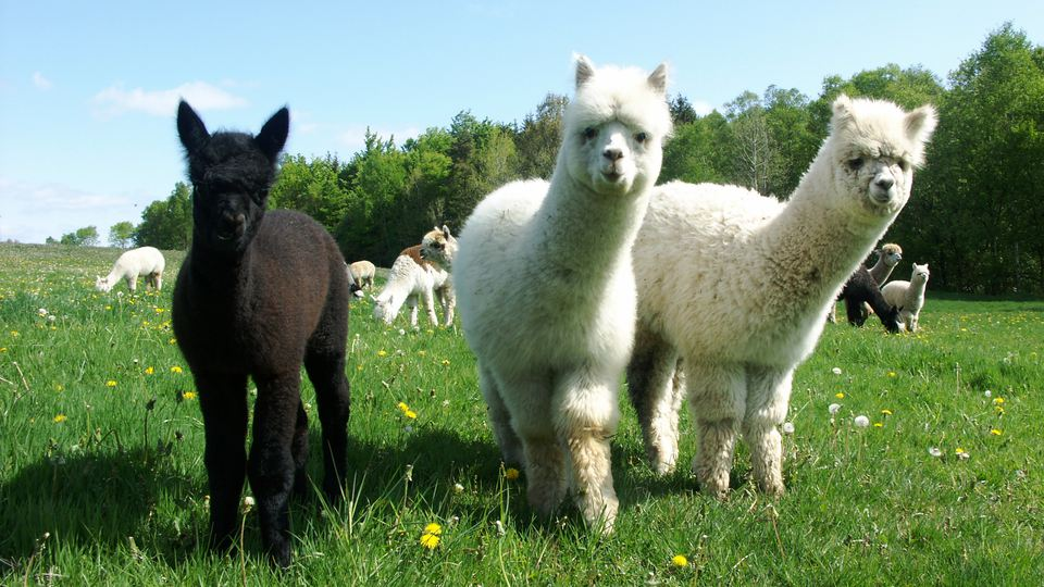 Three cute alpacas, one brown and two white, are standing in the pasture looking soft and fluffy